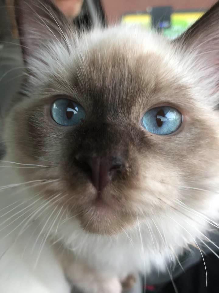 Random Picture of my Ragdoll Kitten